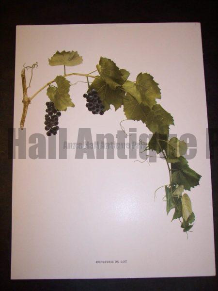 Grapes New York 9628 Rupestris du Lot
