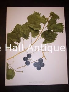 Grapes New York 9629 Shoot of Vitus Rotundifolia