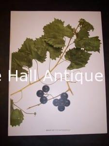 Grapes New York 9629 Shoot of Vitus Rotundifolia