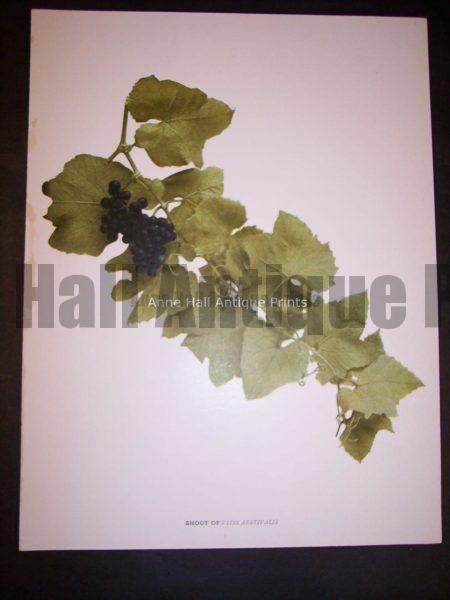 Grapes of New York 9630 Shoot of Vitus