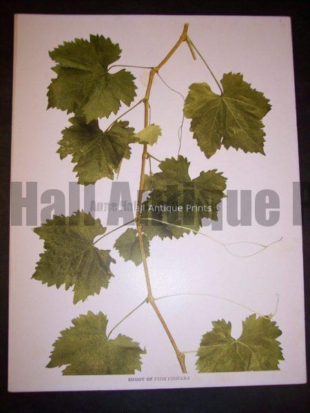 Grapes New York 9632 Shoot of Vitis Vinifera