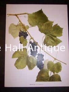 Grapes New York 9633