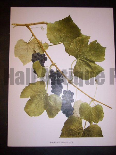 Grapes New York 9633