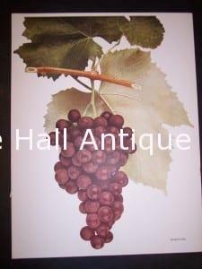 Grapes New York 9634