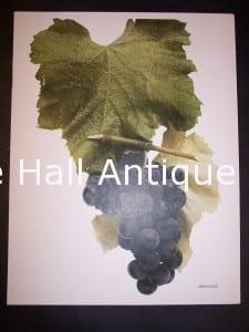 Grapes New York 9636 Hercules Grapes