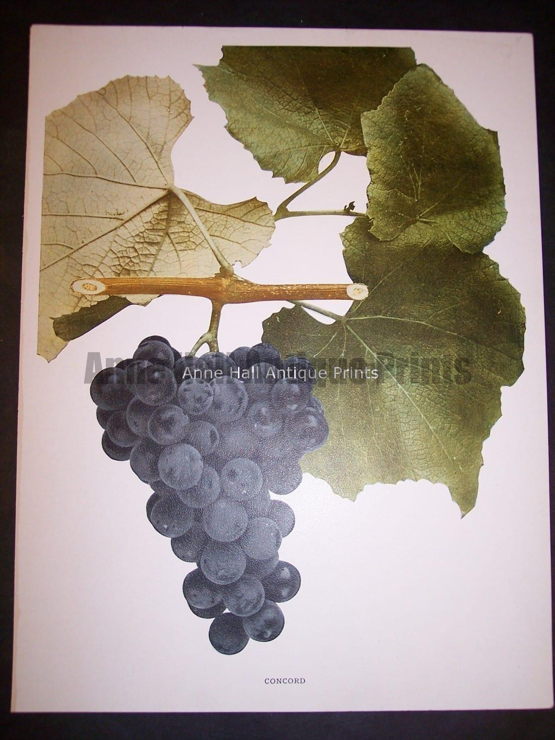 Grapes New York 9637 Concord Grapes