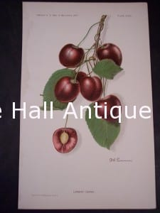 Department of Agriculture Cherry Chromolithograph