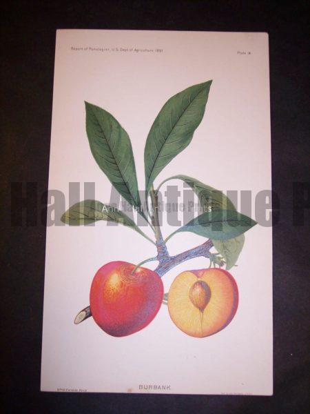 rare plums lithograph art