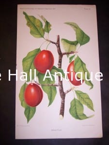 Department of Agriculture Chromolithograph Plums