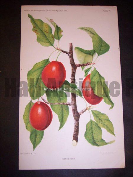 red plums antique artwork