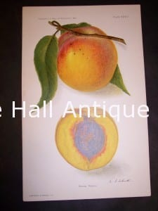 Department of Agriculture Chromolithograph Peach