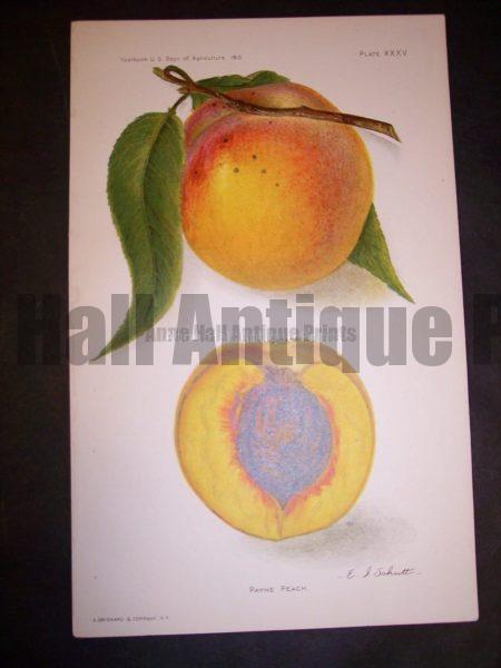 American peach lithograph