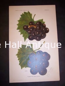 Department of Agriculture Chromolithograph Grapes