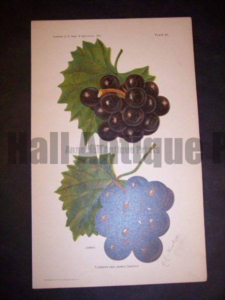 American lithograph grapes