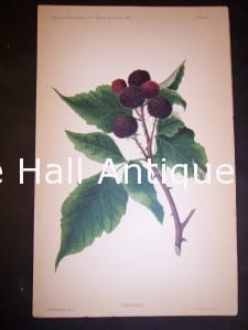 Department of Agriculture Chromolithograph  Berries