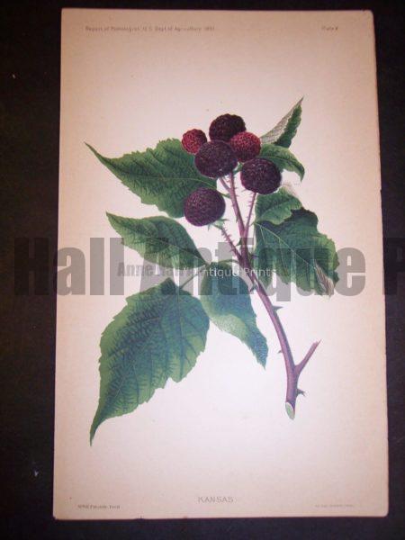 raspberries antique art USDA