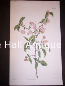 Almond hand colored engraving.