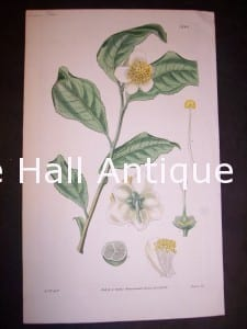 antique painting Green Tea