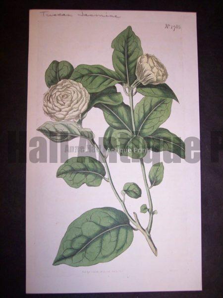Herbs and Spices Jasmine