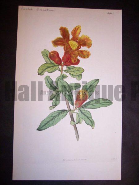 Curtis Pomegranate Pl.1832