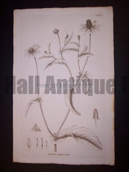 Simple Rudbeckia amplexicaulis