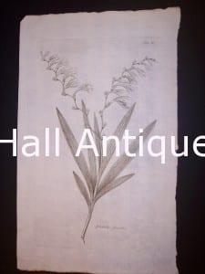 Simple Gladiolus fecundus