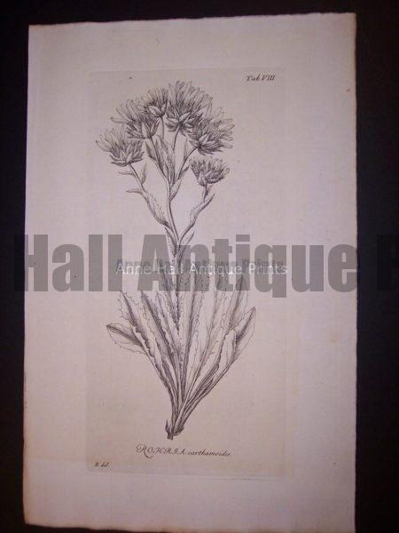 Simple Rohrja carthamoides