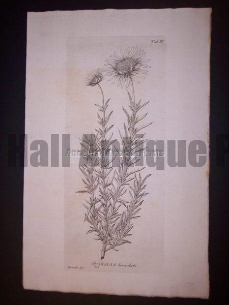 Simple Rohrja lanceolata
