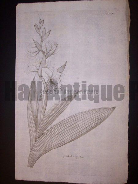 Simple Gladiolus equitans