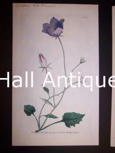 Carpathian Bell Flower 117