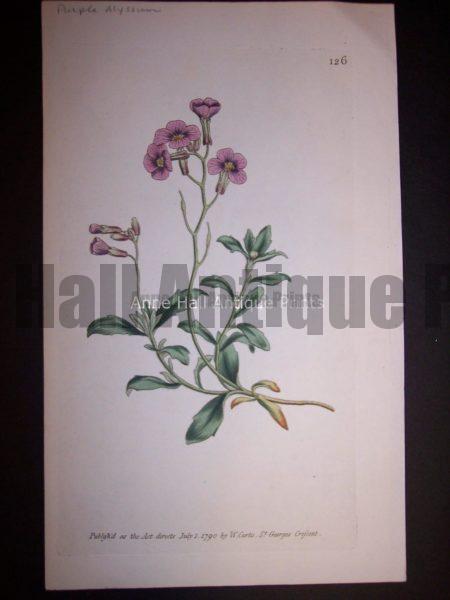 Purple Alyssum 126