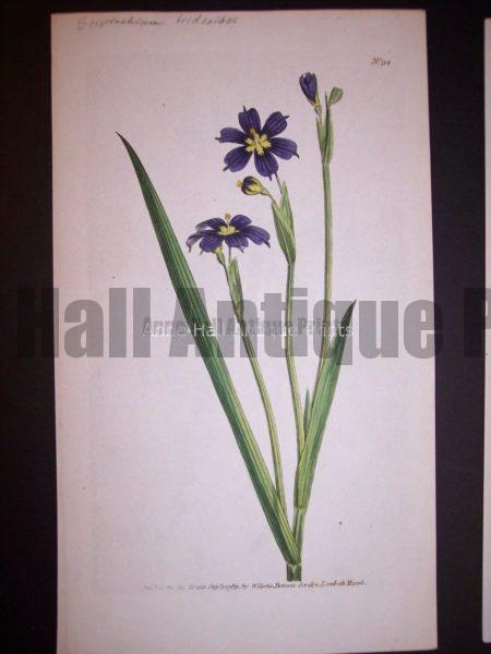 Sisyrinchium Iridioides 94