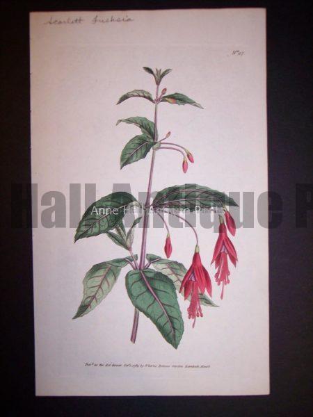 Scarlett Fuchsia 97