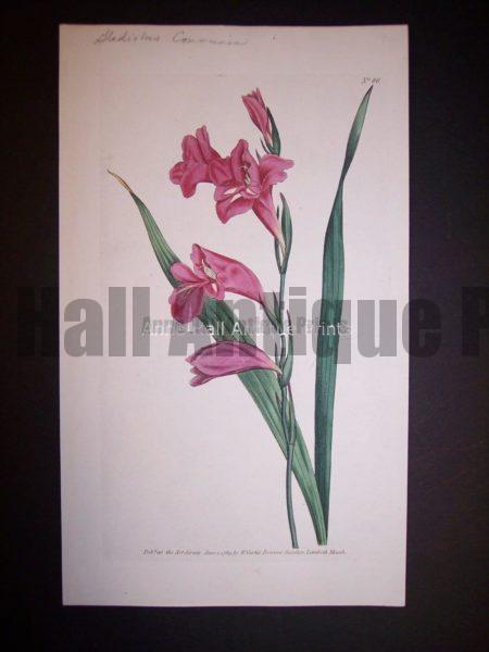 Gladiolus Communis 86