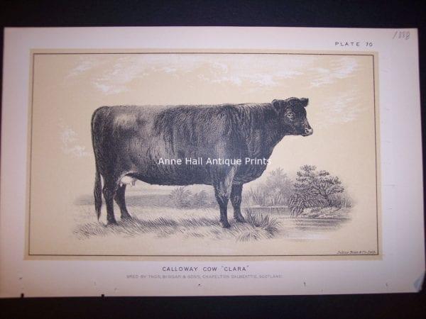 "Calloway Cow ""Clara"""
