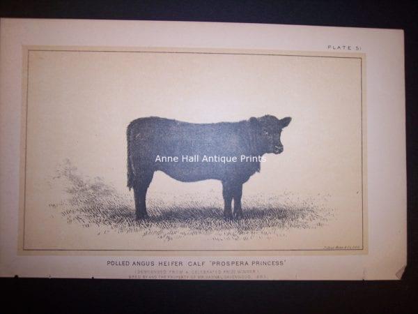 Polled Angus Heifer Calf