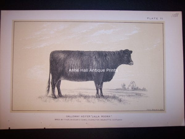 9736  Antique Cattle Print  Galloway Heiffer