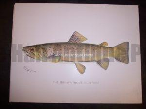 Denton Brown Trout Salmo Fario