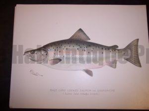 Denton Male Land Locked Salmon