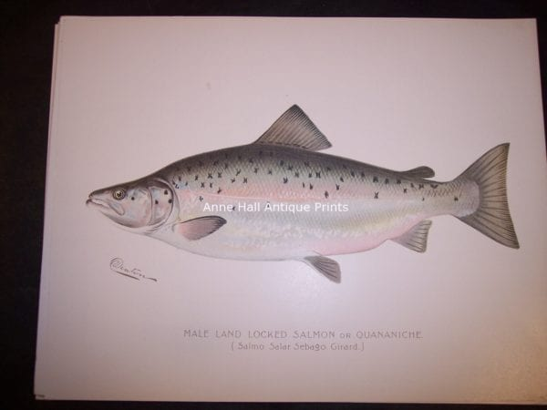 Denton Male Land Locked Salmon