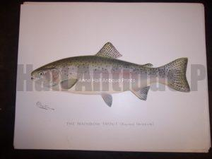 Denton Rainbow Trout
