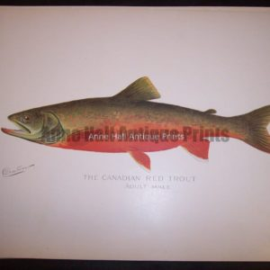 Denton Canadian Red Trout Male