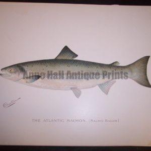 Denton Atlantic Salmon, Salmo Salar.