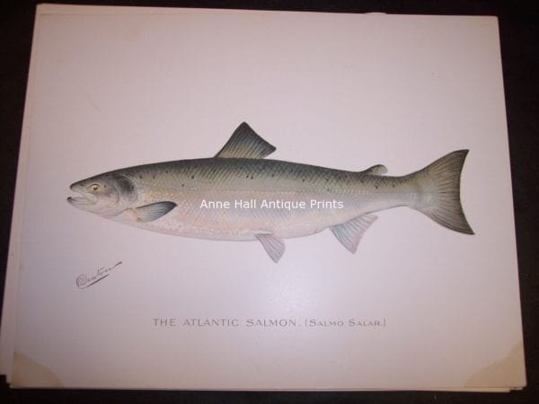 Denton Atlantic Salmon, Salmo Salar.