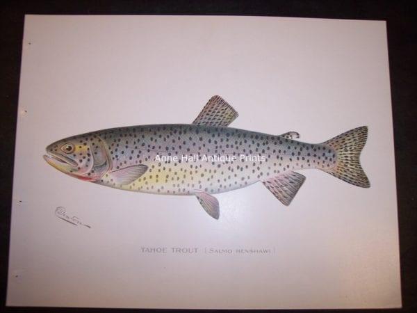 Denton Tahoe Trout. Salmo Henshawi