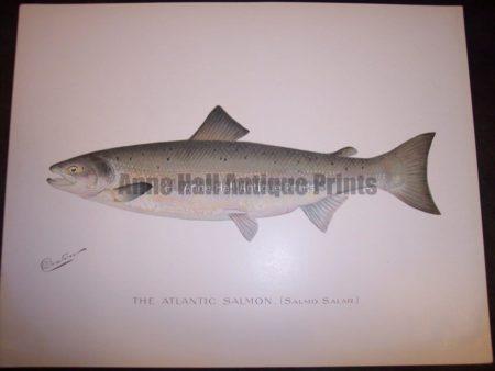 Denton The Atlantic Salmon 2. Salmo Salar.