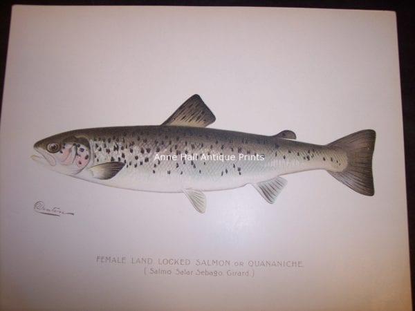 Denton Female Land Locked Salmon