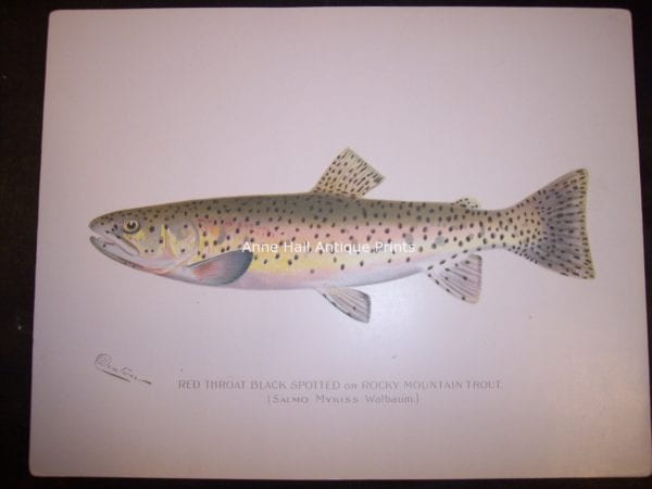 Denton Red Throat Rocky Mountain Trout