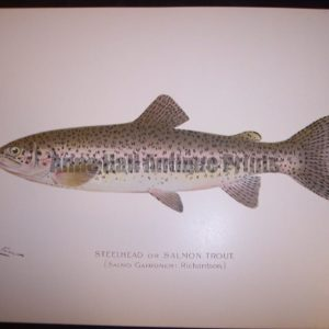 Denton Steelhead or Salmon Trout