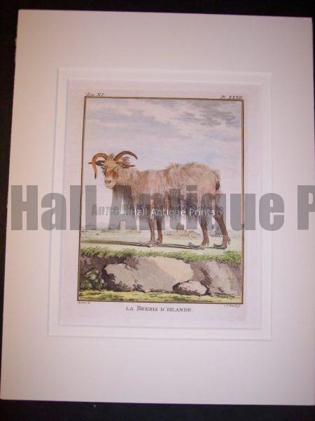 Goats & Sheep by Buffon 1749-1761 9790